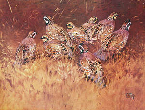 Bobwhite Quail Covey by Lynn Bogue Hunt | eBay